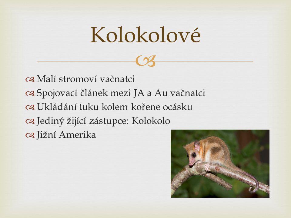   Malí stromoví vačnatci  Spojovací článek mezi JA a Au vačnatci  Ukládání tuku kolem kořene ocásku  Jediný žijící zástupce: Kolokolo  Jižní Ame