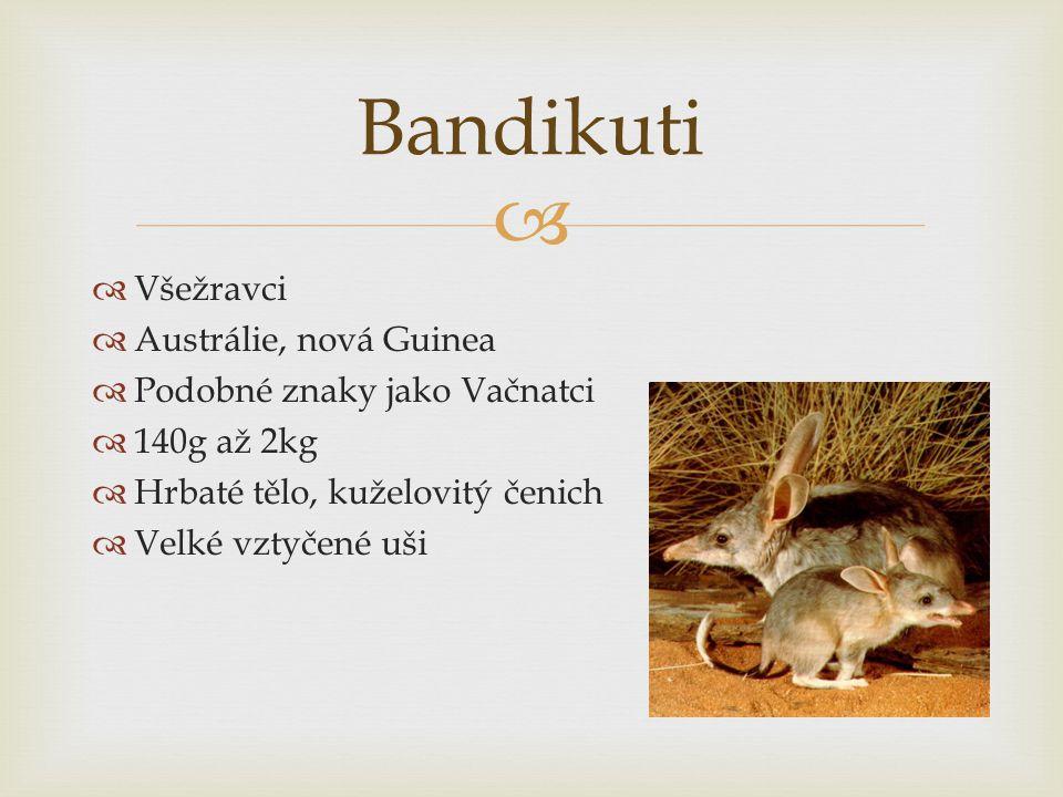   Všežravci  Austrálie, nová Guinea  Podobné znaky jako Vačnatci  140g až 2kg  Hrbaté tělo, kuželovitý čenich  Velké vztyčené uši Bandikuti