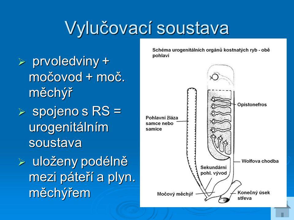 Vylučovací soustava  prvoledviny + močovod + moč. měchýř  spojeno s RS = urogenitálním soustava  uloženy podélně mezi páteří a plyn. měchýřem