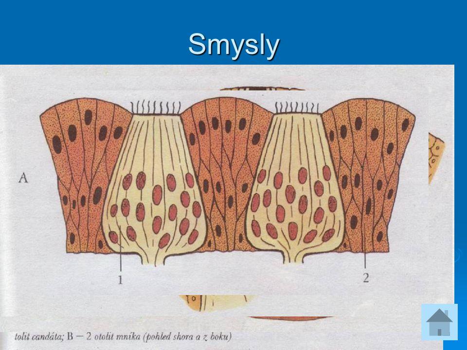 Smysly  čich – u starobylých skupin, nemají vnitřní nozdry  postranní čára – proudový orgán  chuť – receptory v ústní dutině, na vousech atd.  sta
