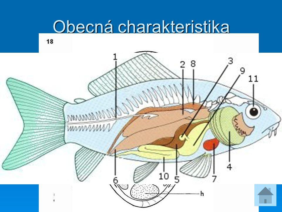 Obecná charakteristika  24 000 druhů  Končetiny tvaru ploutví  Dýchají žábrami  Kostra chrupavčitá nebo kostěná  Kůže krytá šupinami