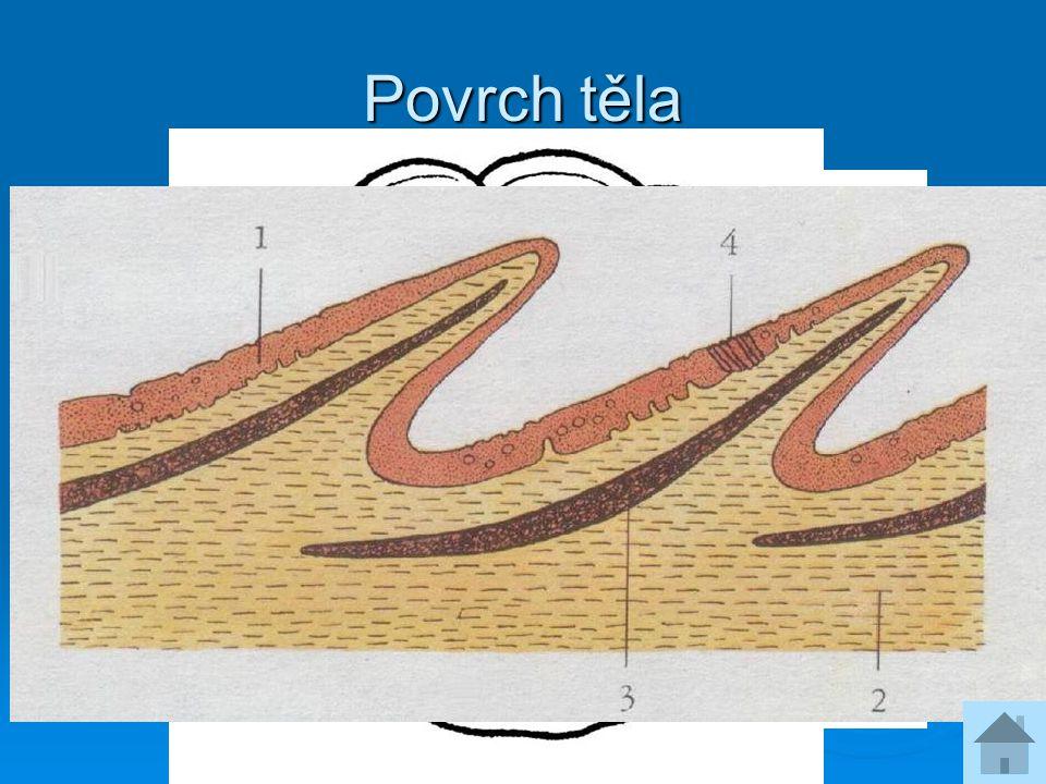 Povrch těla  Kůže obsahuje pigmenty a vylučuje sliz  Šupiny vyrůstají ze škáry  Ganoidní šupiny jeseterů  Ktenoidní šupiny okouna  Cykloidní šupi
