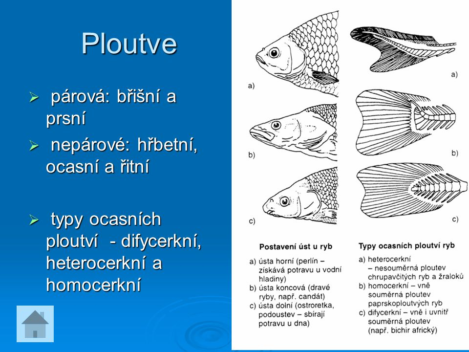 Ploutve  párová: břišní a prsní  nepárové: hřbetní, ocasní a řitní  typy ocasních ploutví - difycerkní, heterocerkní a homocerkní