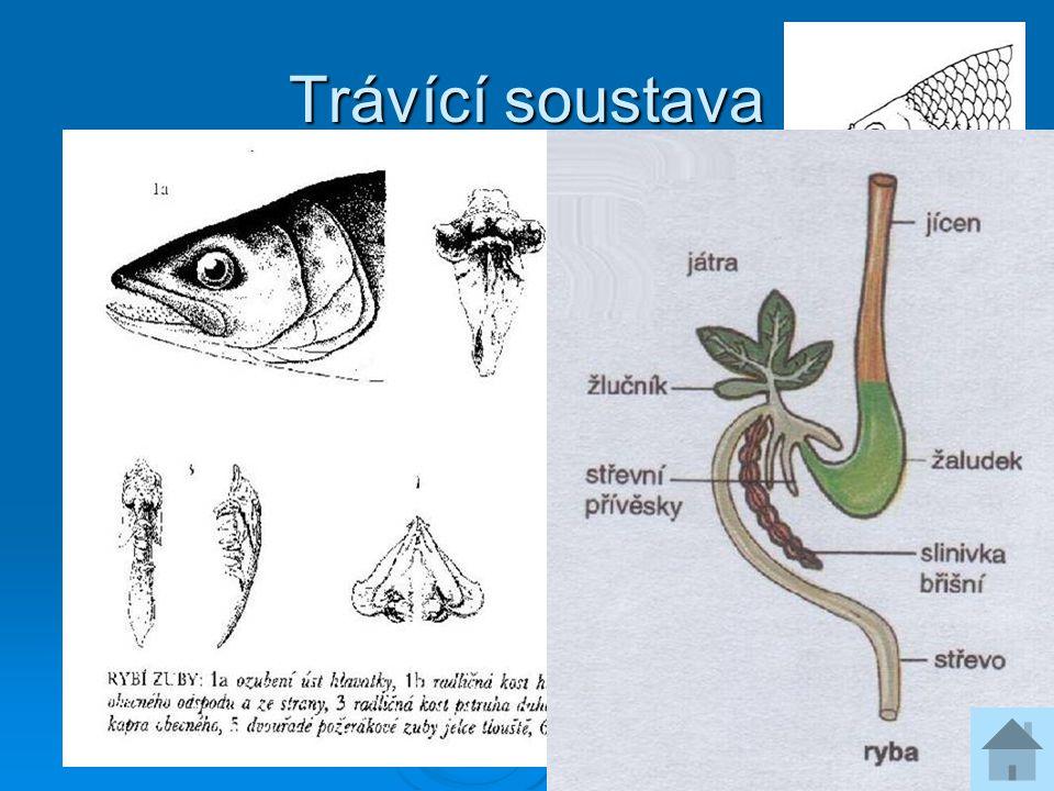 Dýchací soustava  žábry na 4 párech žaberních oblouků  někdy přídatné orgány – střevní vychlípeniny /piskoř/, labyrint lezouna  plynový měchýř /z hřbetní části hltanu/ - hydrostatická funkce nebo dýchací orgán dvojdyšných ryb