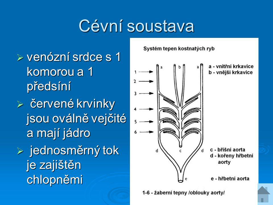 Vylučovací soustava  prvoledviny + močovod + moč.