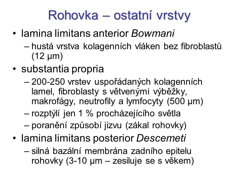 Rohovka – ostatní vrstvy lamina limitans anterior Bowmani –hustá vrstva kolagenních vláken bez fibroblastů (12 µm) substantia propria –200-250 vrstev