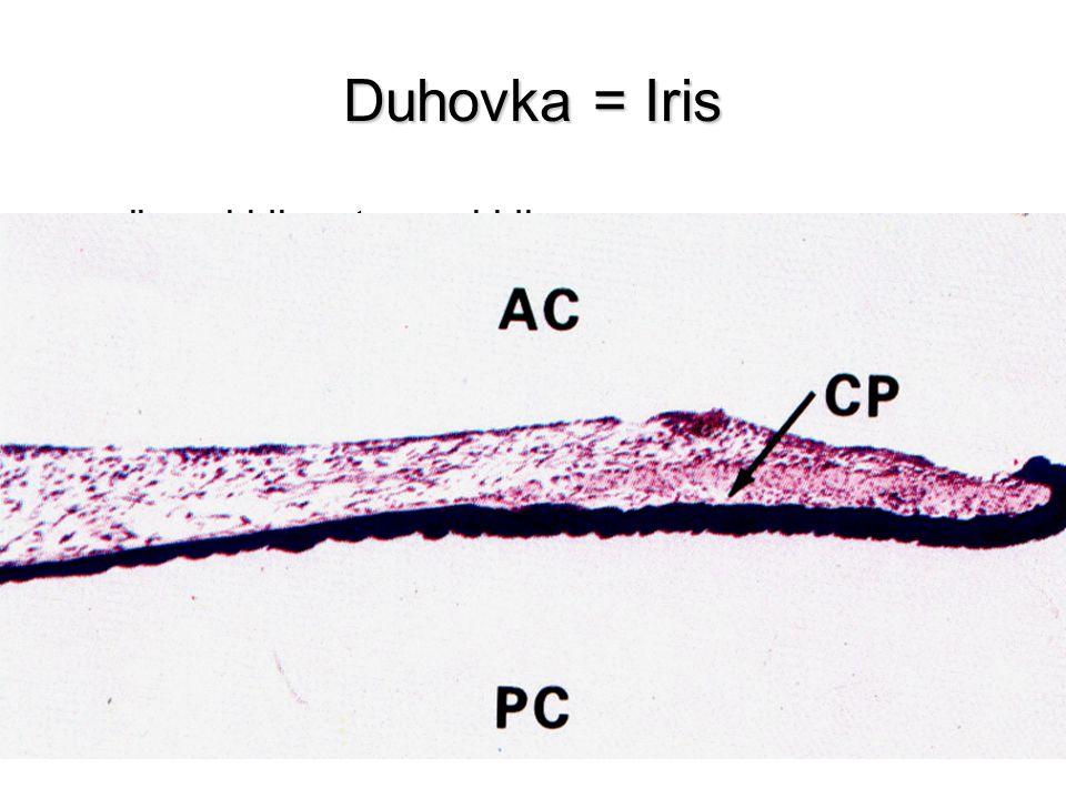 Duhovka = Iris plicae iridis, stroma iridis přední plocha –nemá epitelový kryt (stratum limitans anterius) –fibroblasty a melanocyty (barva) –plica ra