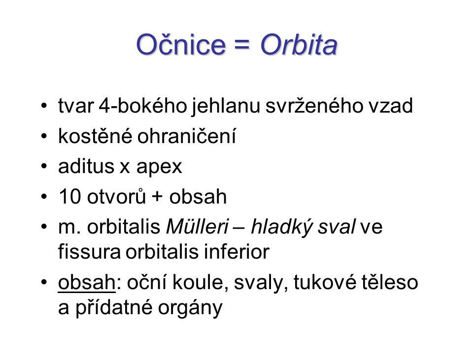 Očnice = Orbita tvar 4-bokého jehlanu svrženého vzad kostěné ohraničení aditus x apex 10 otvorů + obsah m. orbitalis Mülleri – hladký sval ve fissura