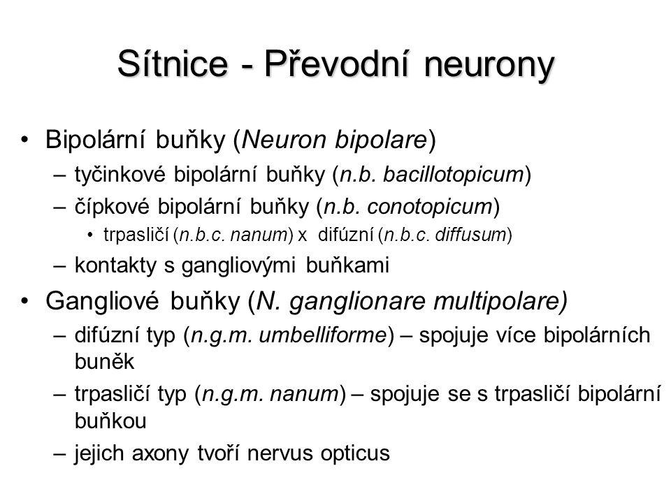 Sítnice - Převodní neurony Bipolární buňky (Neuron bipolare) –tyčinkové bipolární buňky (n.b. bacillotopicum) –čípkové bipolární buňky (n.b. conotopic