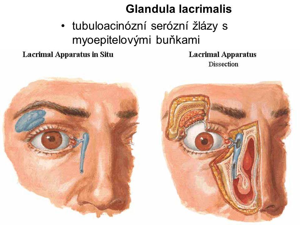 Glandula lacrimalis tubuloacinózní serózní žlázy s myoepitelovými buňkami