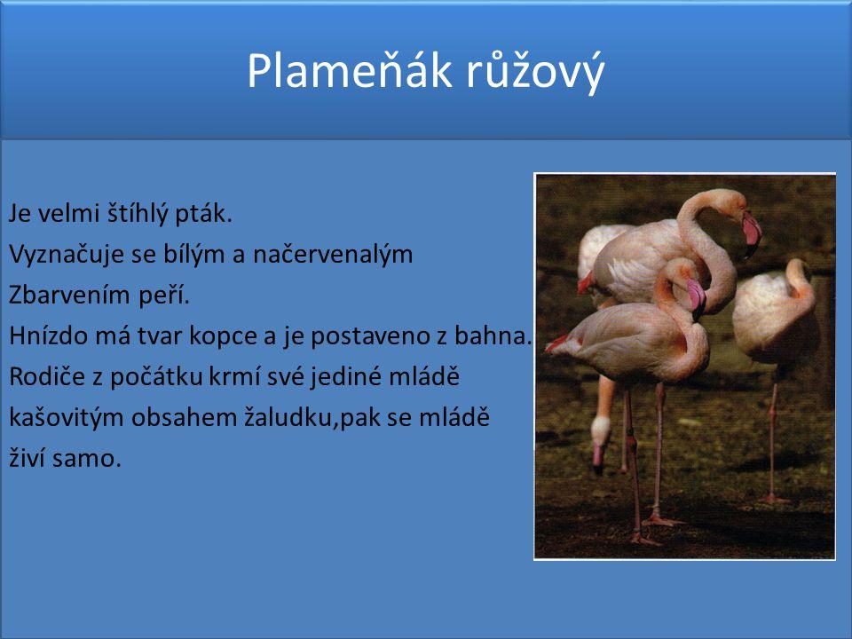 Plameňák růžový Je velmi štíhlý pták.Vyznačuje se bílým a načervenalým Zbarvením peří.