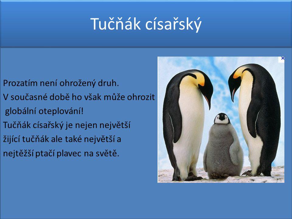 Tučňák císařský Prozatím není ohrožený druh.