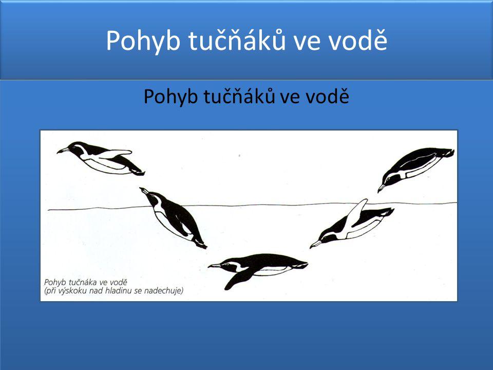 Pohyb tučňáků ve vodě
