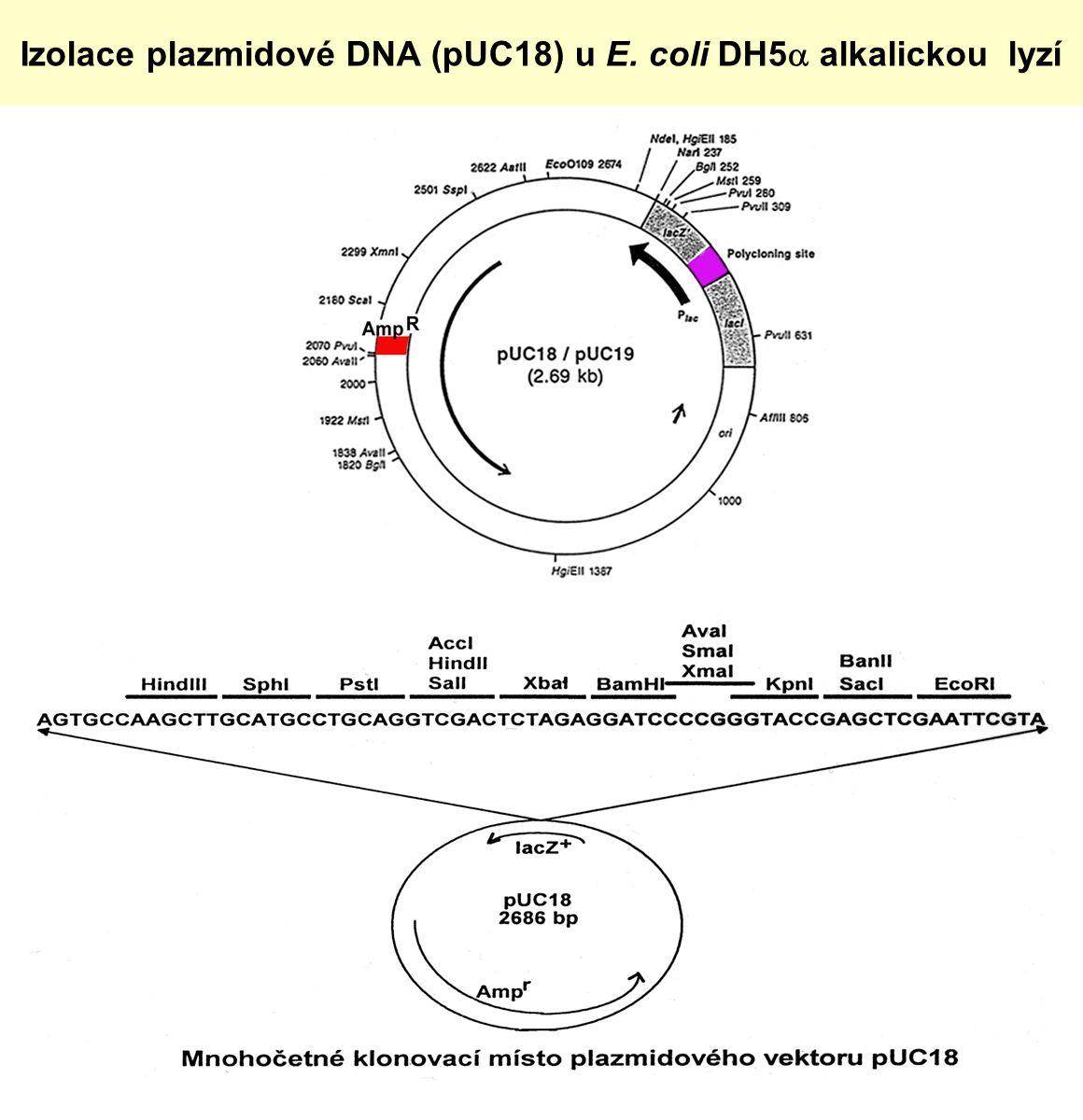 Izolace plazmidové DNA (pUC18) u E. coli DH5  alkalickou lyzí
