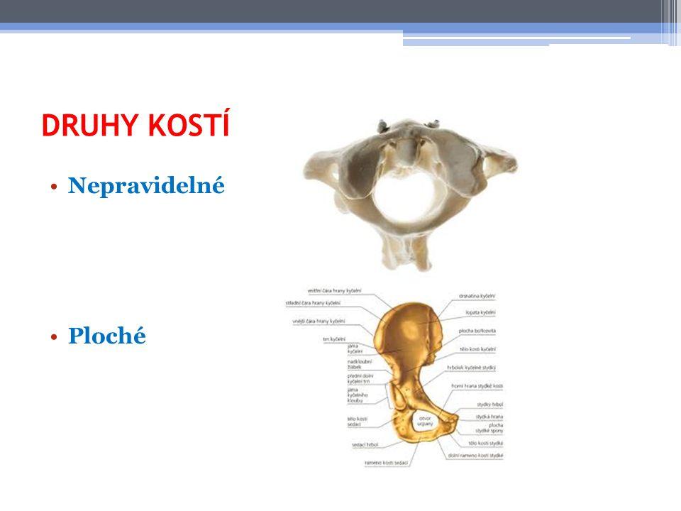 STAVBA KOSTI Kosti jsou pokryty tuhou vrstvou – OKOSTICÍ Ta je pevně spojena s kostí Má význam pro výživu, růst a vývoj kosti Pomáhá při hojení zlomenin V koncových částech kostí je HOUBOVITÁ tkáň Uvnitř dlouhých kostí je dutina vyplněná měkkou KOSTNÍ DŘENÍ V dětství je červená a tvoří se v ní červené a bílé krvinky V dospělosti zežloutne a je postupně nahrazena tukem