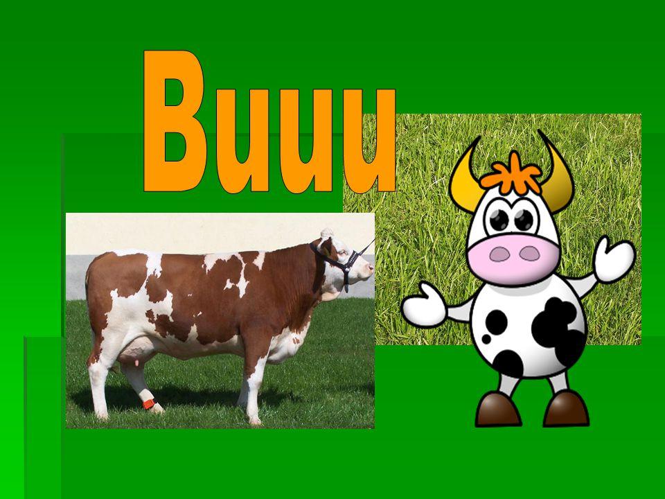 Také kravičky se objevily v písničkách:  Dú kravičky, dú, z pastvy dědinú.