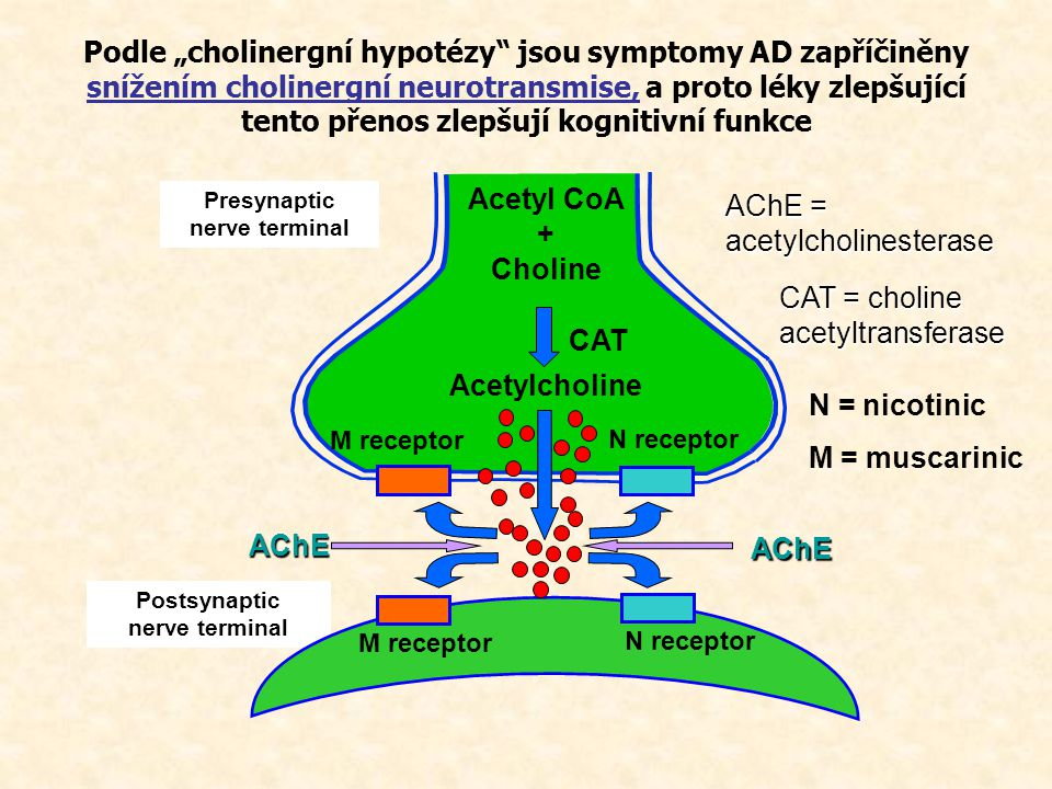 Presynaptic nerve terminal Postsynaptic nerve terminal CAT = choline acetyltransferase AChE = acetylcholinesterase N = nicotinic M = muscarinic Acetyl