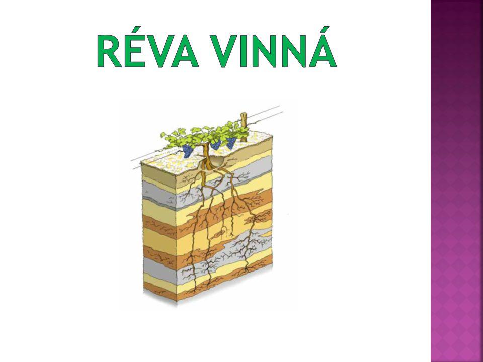  Veltlínské zelené 1941  Veritas 2001 (RČ x Bouvierův hrozen)  Vrboska 2004