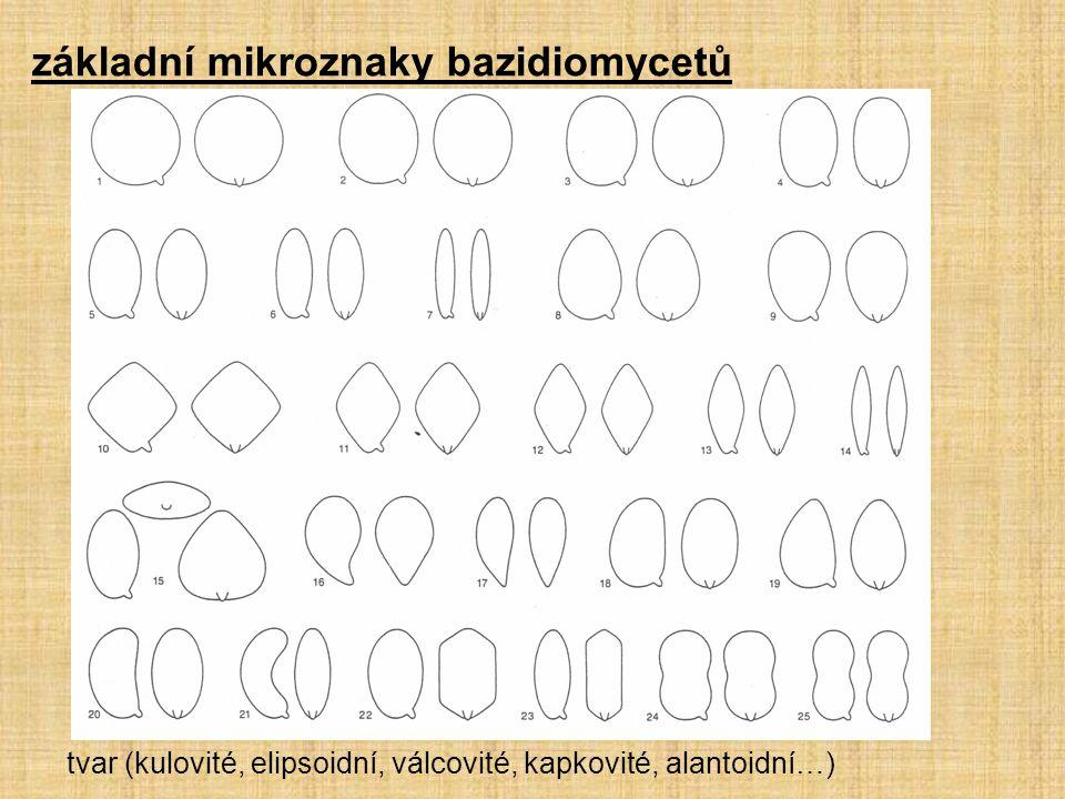základní mikroznaky bazidiomycetů tvar (kulovité, elipsoidní, válcovité, kapkovité, alantoidní…)