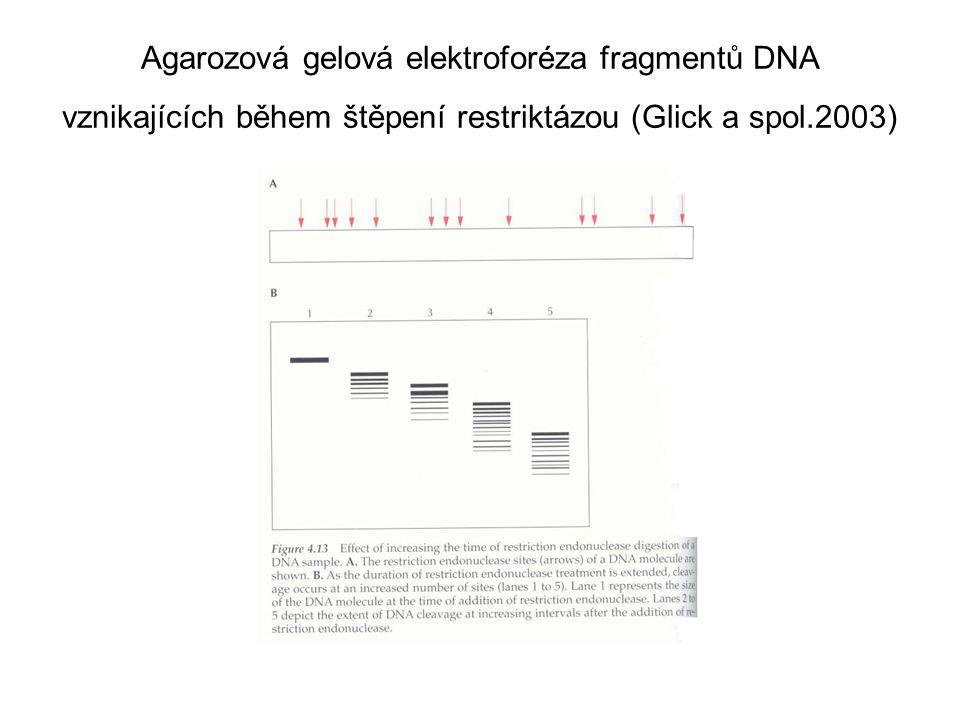 Agarozová gelová elektroforéza fragmentů DNA vznikajících během štěpení restriktázou (Glick a spol.2003)