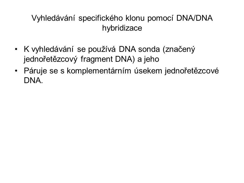 Vyhledávání specifického klonu pomocí DNA/DNA hybridizace K vyhledávání se používá DNA sonda (značený jednořetězcový fragment DNA) a jeho Páruje se s komplementárním úsekem jednořetězcové DNA.