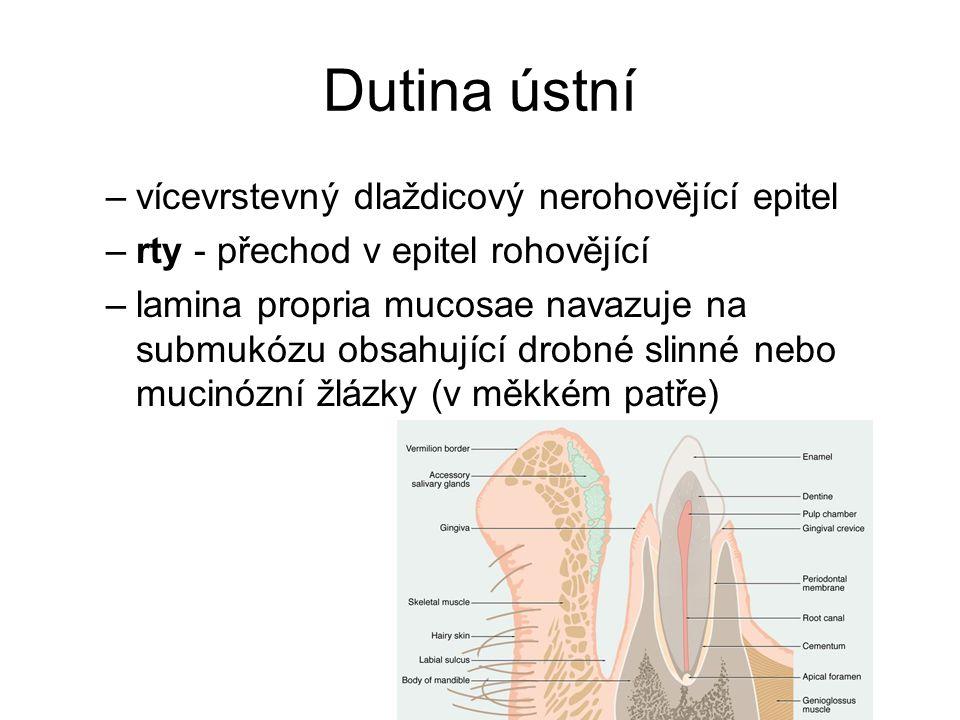 Dutina ústní –vícevrstevný dlaždicový nerohovějící epitel –rty - přechod v epitel rohovějící –lamina propria mucosae navazuje na submukózu obsahující drobné slinné nebo mucinózní žlázky (v měkkém patře)