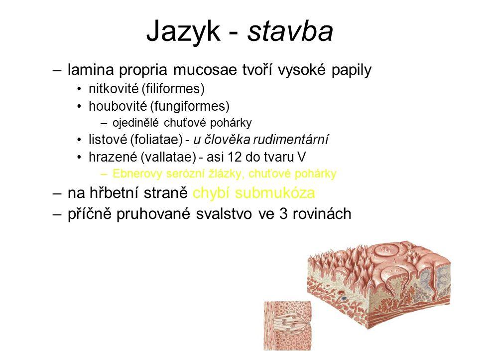Jazyk - stavba –lamina propria mucosae tvoří vysoké papily nitkovité (filiformes) houbovité (fungiformes) –ojedinělé chuťové pohárky listové (foliatae) - u člověka rudimentární hrazené (vallatae) - asi 12 do tvaru V –Ebnerovy serózní žlázky, chuťové pohárky –na hřbetní straně chybí submukóza –příčně pruhované svalstvo ve 3 rovinách