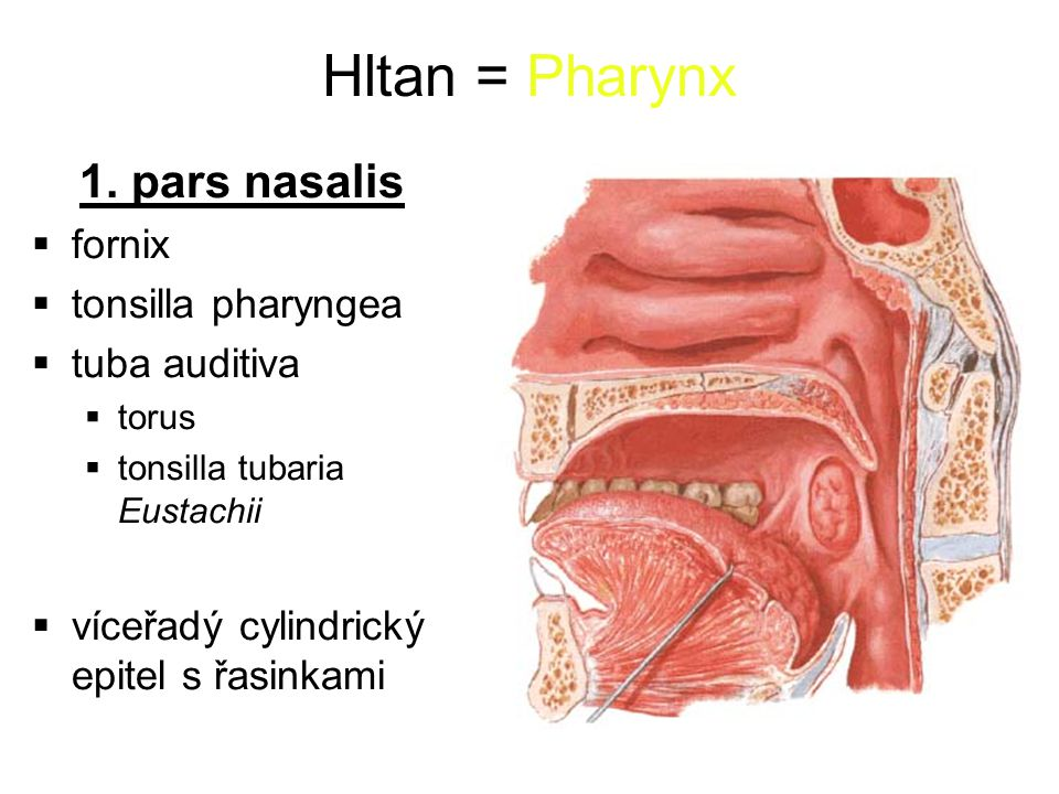 Hltan = Pharynx 1.