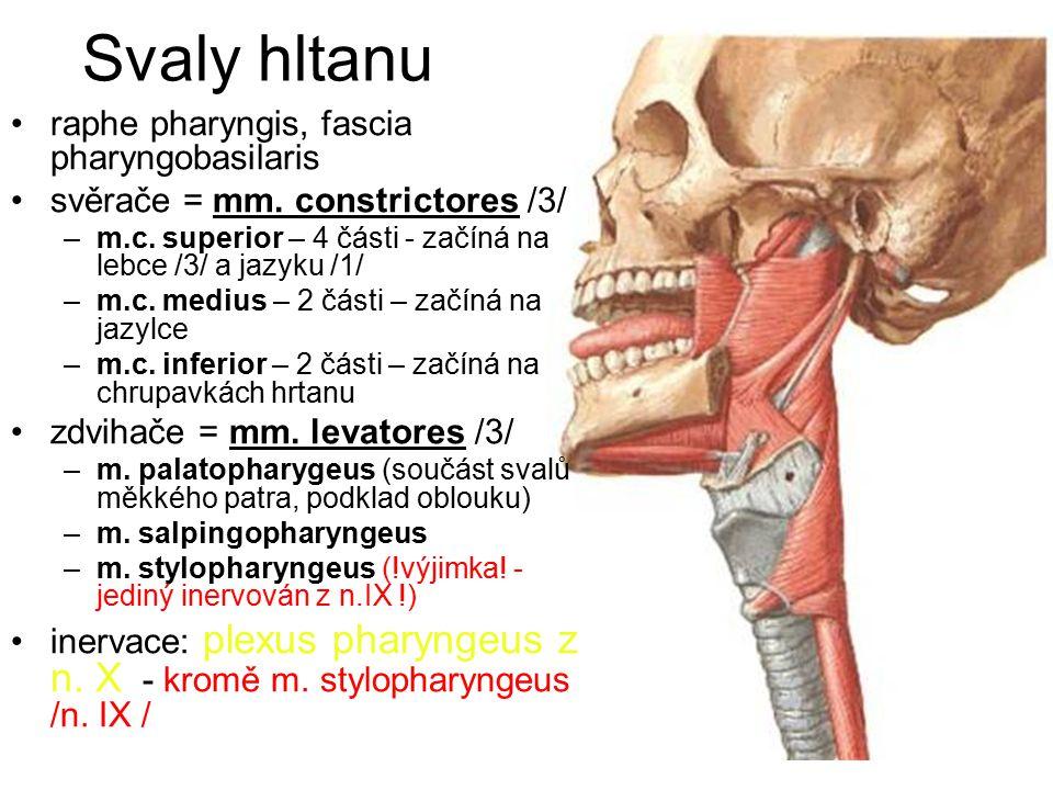 Svaly hltanu raphe pharyngis, fascia pharyngobasilaris svěrače = mm.