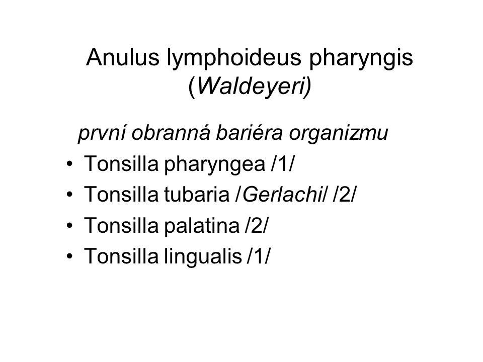 Anulus lymphoideus pharyngis (Waldeyeri) první obranná bariéra organizmu Tonsilla pharyngea /1/ Tonsilla tubaria /Gerlachi/ /2/ Tonsilla palatina /2/ Tonsilla lingualis /1/