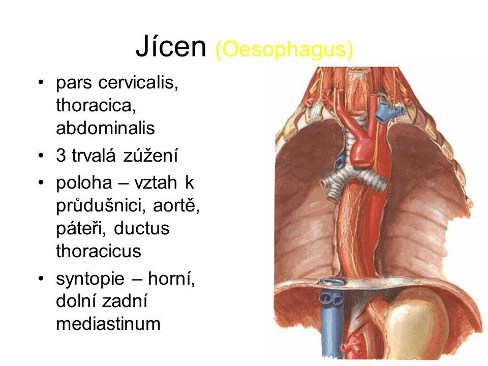 Jícen (Oesophagus) pars cervicalis, thoracica, abdominalis 3 trvalá zúžení poloha – vztah k průdušnici, aortě, páteři, ductus thoracicus syntopie – horní, dolní zadní mediastinum
