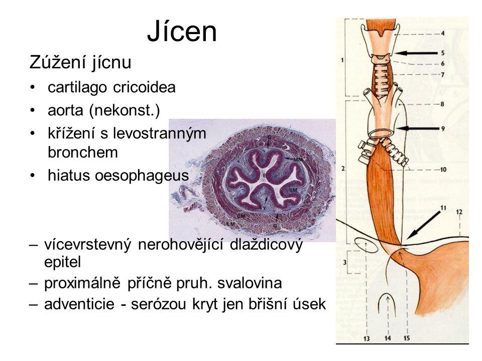 Jícen Zúžení jícnu cartilago cricoidea aorta (nekonst.) křížení s levostranným bronchem hiatus oesophageus –vícevrstevný nerohovějící dlaždicový epitel –proximálně příčně pruh.