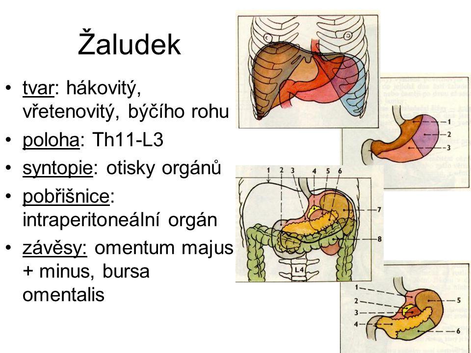 Žaludek tvar: hákovitý, vřetenovitý, býčího rohu poloha: Th11-L3 syntopie: otisky orgánů pobřišnice: intraperitoneální orgán závěsy: omentum majus + minus, bursa omentalis
