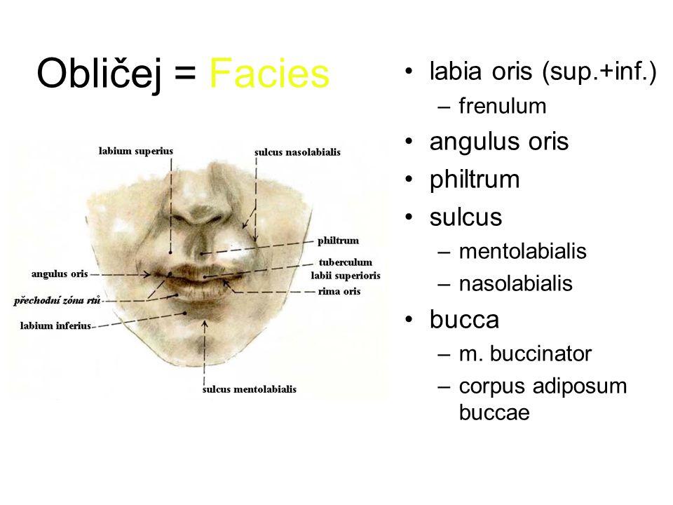 Obličej = Facies labia oris (sup.+inf.) –frenulum angulus oris philtrum sulcus –mentolabialis –nasolabialis bucca –m.