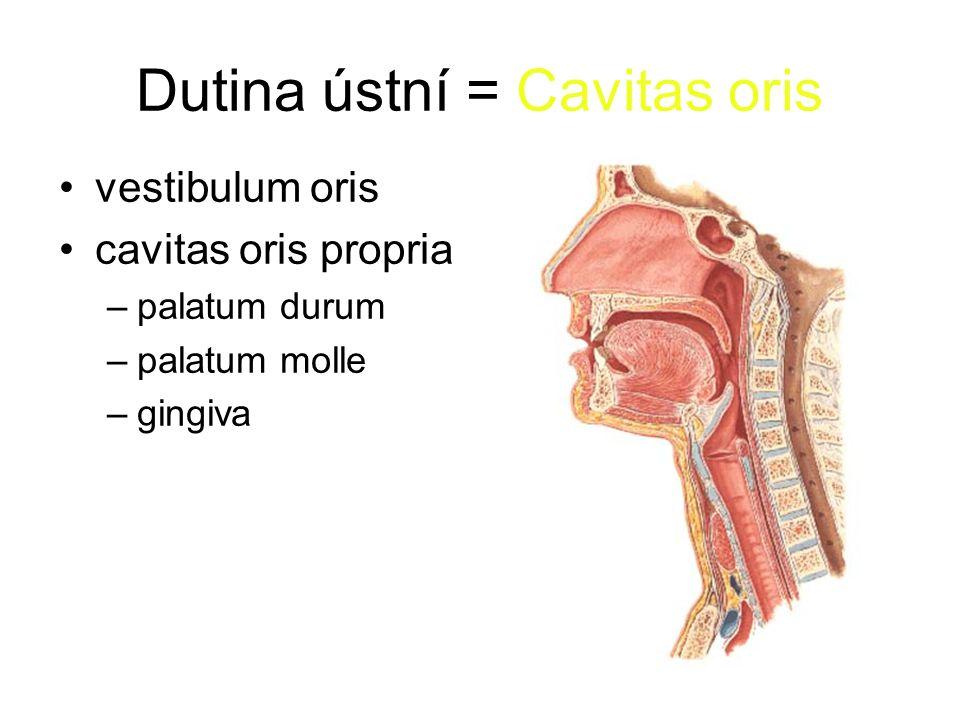 Tenké střevo = Intestinum tenue dvanáctník = duodenum lačník = jejunum kyčelník = ileum okruží = mesenterium -radix mesenterii