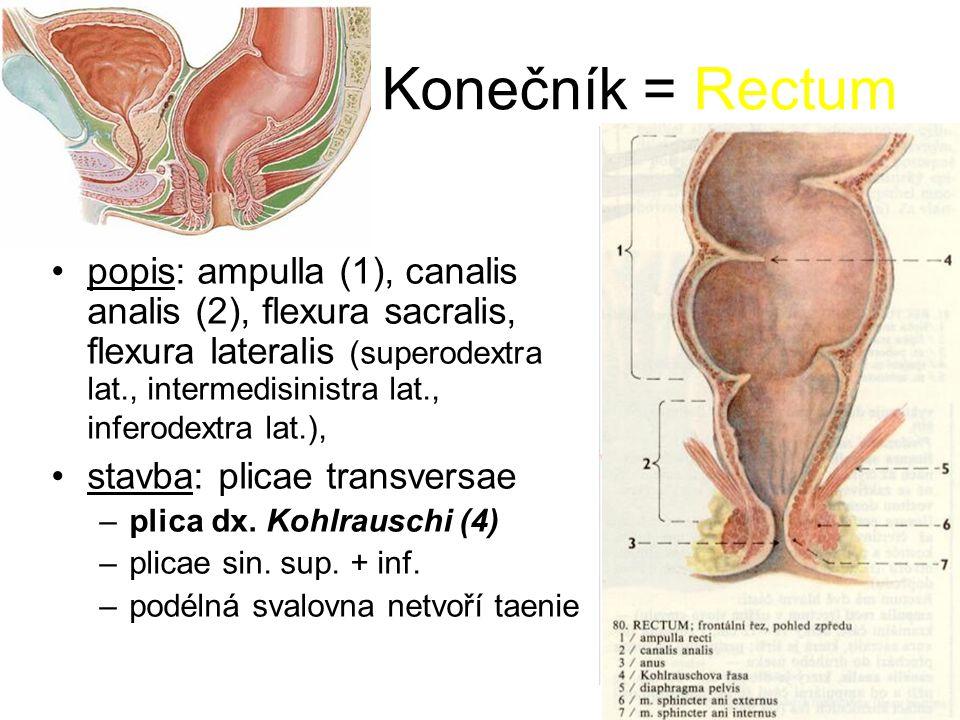 Konečník = Rectum popis: ampulla (1), canalis analis (2), flexura sacralis, flexura lateralis (superodextra lat., intermedisinistra lat., inferodextra lat.), stavba: plicae transversae –plica dx.