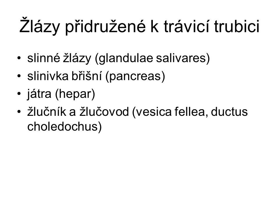 Žlázy přidružené k trávicí trubici slinné žlázy (glandulae salivares) slinivka břišní (pancreas) játra (hepar) žlučník a žlučovod (vesica fellea, ductus choledochus)