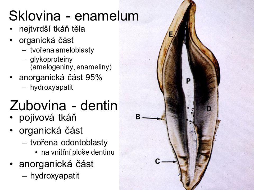 nejtvrdší tkáň těla organická část –tvořena ameloblasty –glykoproteiny (amelogeniny, enameliny) anorganická část 95% –hydroxyapatit Zubovina - dentin Sklovina - enamelum pojivová tkáň organická část –tvořena odontoblasty na vnitřní ploše dentinu anorganická část –hydroxyapatit
