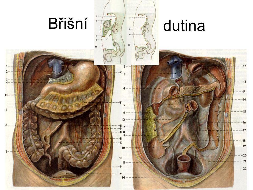 Břišní dutina