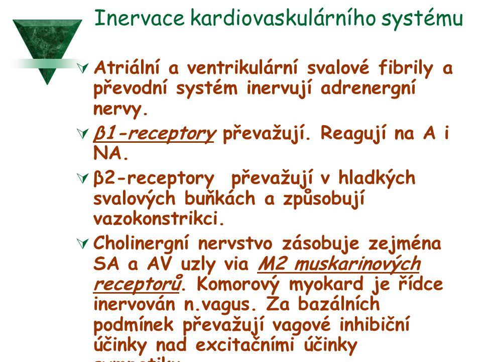 Inervace kardiovaskulárního systému  Atriální a ventrikulární svalové fibrily a převodní systém inervují adrenergní nervy.  β1-receptory převažují.