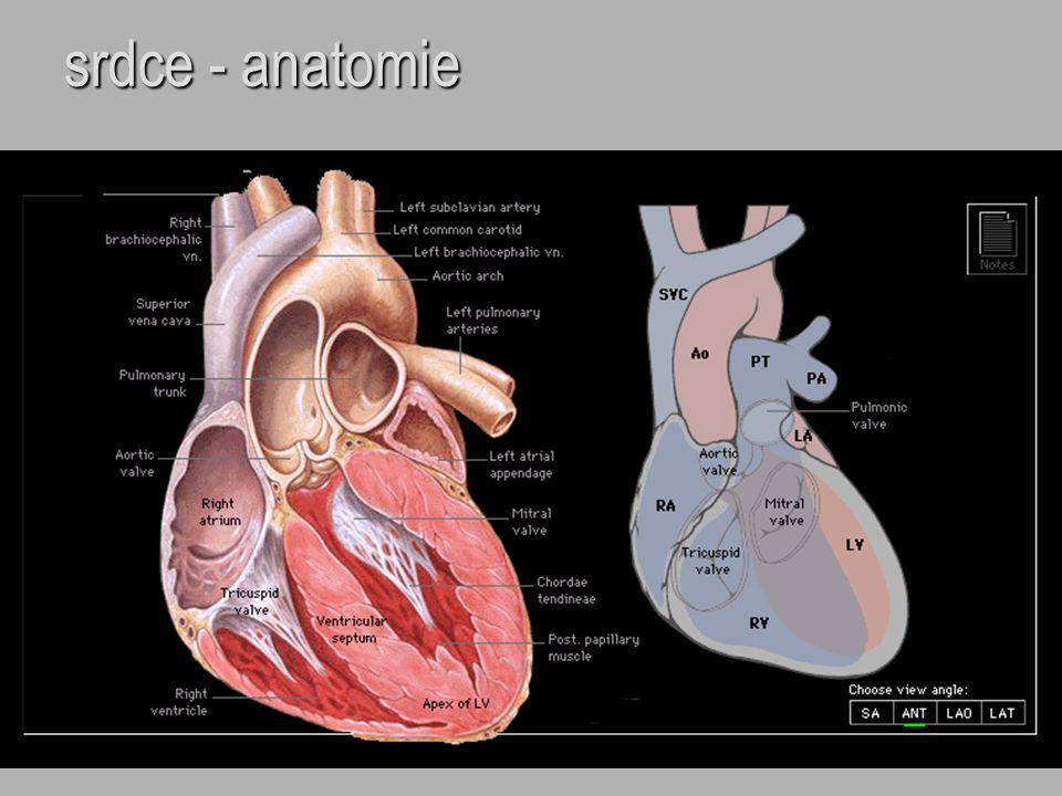 srdce - anatomie