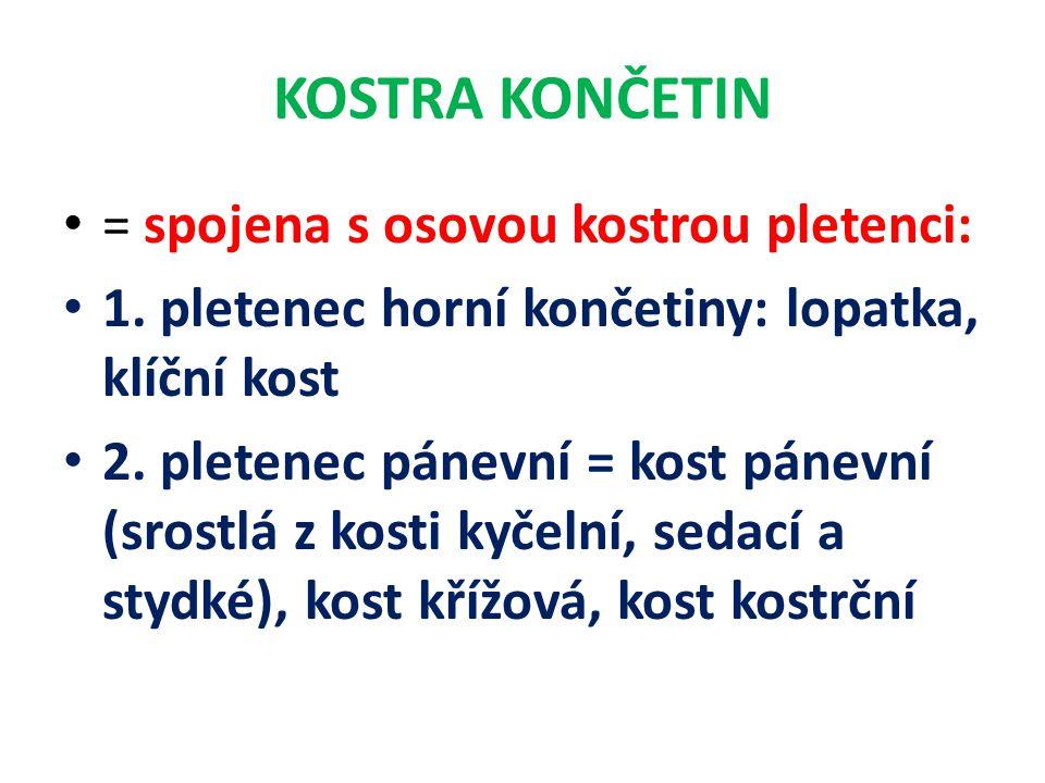 KOSTRA HORNÍ KONČETINY Kost klíční Lopatka Kost pažní Kost vřetenní Kost loketní Ruka →kůstky zápěstní (8) → kůstky záprstní (5) → články prstů (14)