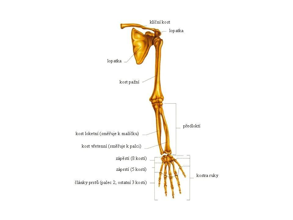 KOSTRA DOLNÍ KONČETINY Kost pánevní : → kosti kyčelní → kosti stydké → kost sedací Kost stehenní Čéška Kost holenní Kost lýtková Noha: → kůstky zánártní (7) → kůstky nártní (5) → články prstů (14)