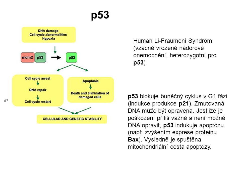 p53 blokuje buněčný cyklus v G1 fázi (indukce produkce p21). Zmutovaná DNA může být opravena. Jestliže je poškození příliš vážné a není možné DNA opra
