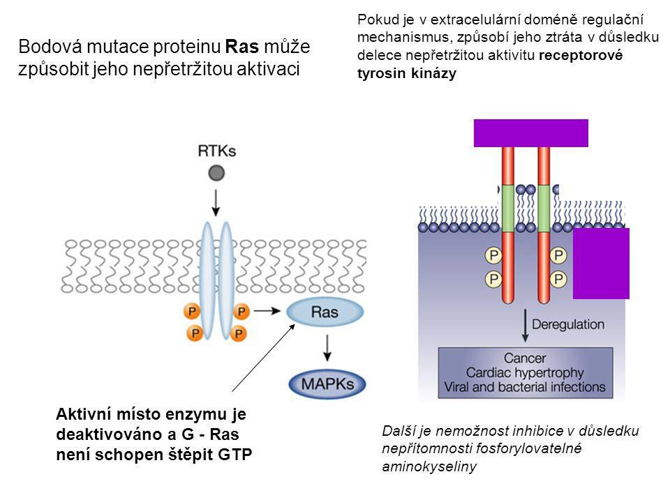 Bodová mutace proteinu Ras může způsobit jeho nepřetržitou aktivaci Aktivní místo enzymu je deaktivováno a G - Ras není schopen štěpit GTP Další je ne