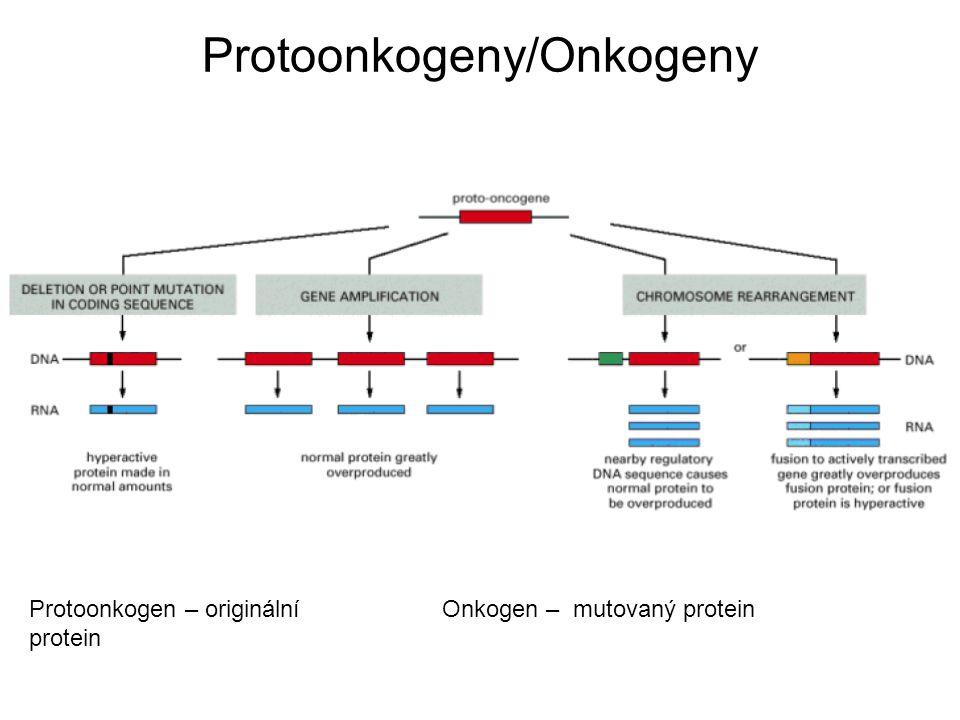 Protoonkogeny/Onkogeny Protoonkogen – originální protein Onkogen – mutovaný protein