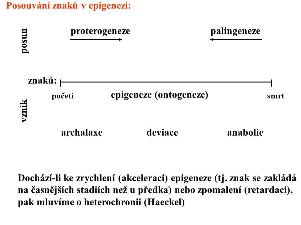 vznik posun znaků: proterogenezepalingeneze archalaxedeviaceanabolie početísmrt epigeneze (ontogeneze) Posouvání znaků v epigenezi: Dochází-li ke zrychlení (akceleraci) epigeneze (tj.