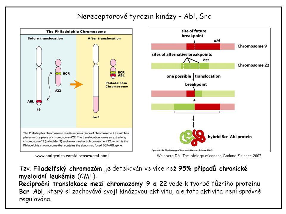 Nereceptorové tyrozin kinázy – Abl, Src Weinberg RA. The biology of cancer, Garland Science 2007 Tzv. Filadelfský chromozóm je detekován ve více než 9