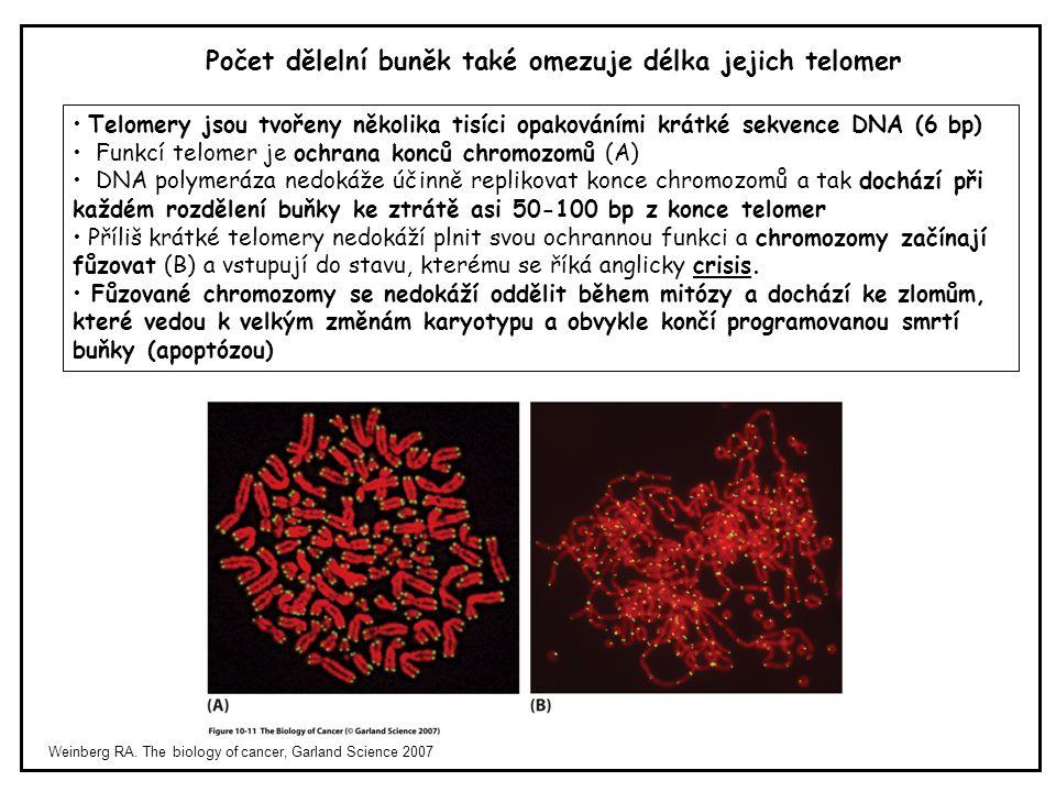 Weinberg RA. The biology of cancer, Garland Science 2007 Počet dělelní buněk také omezuje délka jejich telomer Telomery jsou tvořeny několika tisíci o