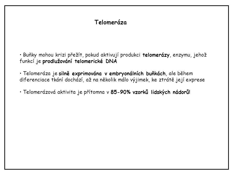 Buňky mohou krizi přežít, pokud aktivují produkci telomerázy, enzymu, jehož funkcí je prodlužování telomerické DNA Telomeráza je silně exprimována v e